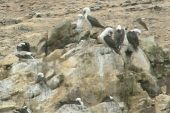 Birdwatching in Peru - Ballestas Islands
