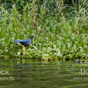 American purple gallinule - N5012