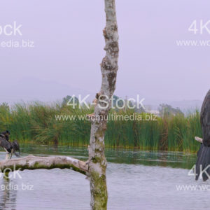 Cormorants (Phalacracoris carbo) - N5018