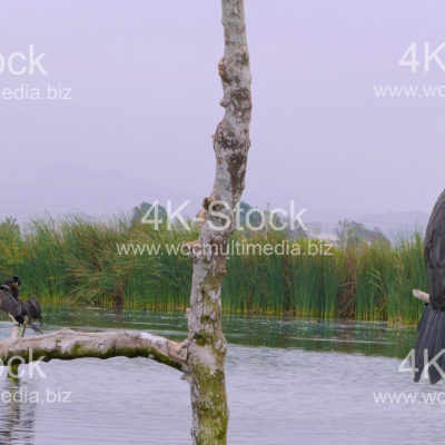 Cormorants (Phalacracoris carbo) – N5018