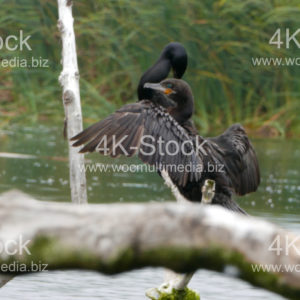 Cormorants (Phalacracoris carbo) - N5019