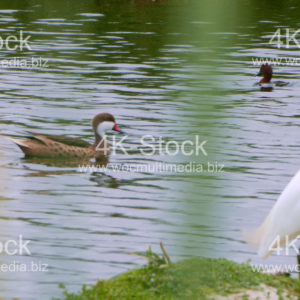 White-cheeked Pintail - N5025