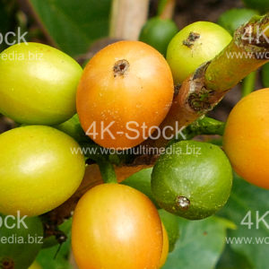 Coffee Fruits - N5003