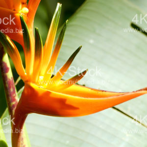 Heliconia psittacorum Golden Torch - N5004