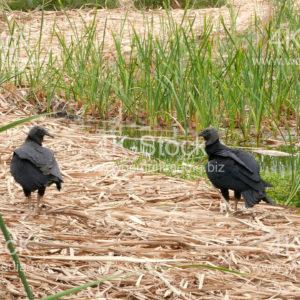 Black vulture - N5005
