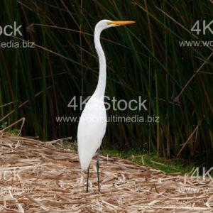 White Egret (Ardea alba egretta) - N5007