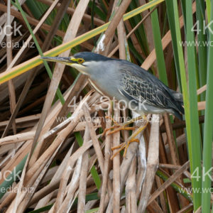 Green-backed Heron - N5009
